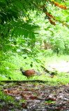 Female Curassow (as big as a turkey)