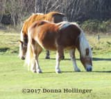 Two icelandic Horses in Royalton VT
