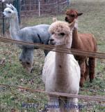 Alpacas At Wallace's Farm