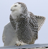 WingStretch  Miss Snowy Owl
