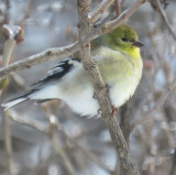 Winter plumage on Goldfinches