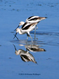 Avocets...crossed swords