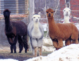 Alpacas At Wallace's Farm