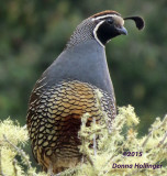 California quail waiting fir his Lady Love