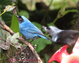 Diglossopis cyanea, Masked Flowerpiercer with a visitor bird!!