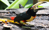 Hungry Aracari Eating a Banana