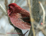 Purple/Pink/Red Finch....