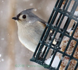 Parus bicolor (Tufted Titmouse)