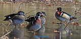 Two Pair of Woodducks on Ice Pool