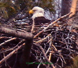 Bald Eagle Sitting on a nest