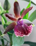 Carolyn's Orchid