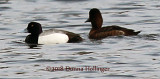 Lesser Scaup and Immature?
