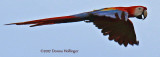 Scarlet Macaw (Ara macao) Flying By