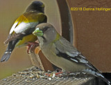 Evening Grosbeaks Feeding on my Deck