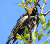 Bobolink on Apple or Pear Fruit Tree