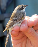 Female Myrtle Warbler about to be banded