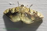 Basswood Leafroller Moth