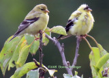 female and male goldfinches...the male needs more feathers!