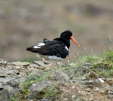 European Oystercatcher