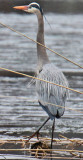 This Great Blue Heron has nuptial plumage
