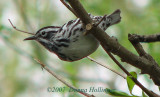 Black and White Warbler in Mount Auburn Cemetery
