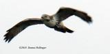 Redtailed immature Hawk