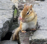 Chipmunk holding his sore thumb