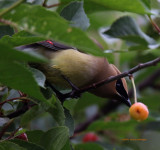 Cedar Waxwing on the Cherry Tree