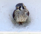 The Strafford Townhouse Kestrel