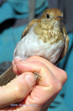 Veery, About to be banded