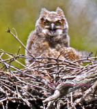 Baby Great Horned Owl Calling MUMMY!!!