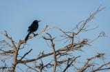 Black Bird Wakodahatchee