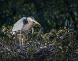 Wakodahatchee Heron