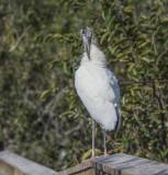 Wood Stork Wakodahatchee