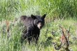 Ours noir - 0V3A7648 - Black Bear