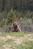 Ours brun - 0V3A6557 - Grizzly