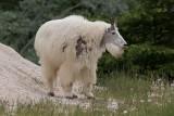 Chèvre des Rocheuses - 0V3A6471 - Mountain Goat