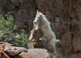 Chèvre des Rocheuses - 0V3A7208 - Mountain Goat