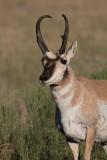 Antilope d'Amérique - 0V3A7329 - Pronghorn