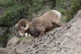 Mouflon d'Amérique - 0V3A6281 - Bighorn.jpg