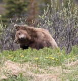 Ours brun - 0V3A6559 - Grizzly (Three or four years old)