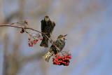 Étourneaux sansonnet --- 207_0710 --- European Starling