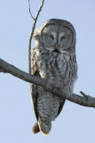 Chouette lapone --- _Z0U0750 --- Great Gray Owl