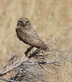 Chouette des terriers - 0V3A7861 - Burrowing Owl
