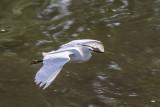 Aigrette neigeuse --- 0V3A5189 --- Snowy Egret