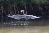 Aigrette roussâtre --- 0V3A0314 --- Reddish Egret