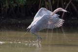 Aigrette roussâtre --- 0V3A0262 --- Reddish Egret