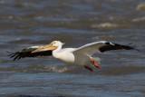 Pélican d'Amérique --- 0V3A3520 --- American Pelican
