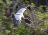 Tantale d'Amérique - 0V3A5290 - Wood Stork