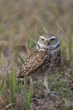 Chouette des terriers --- 0V3A0562 --- Burrowing Owl
